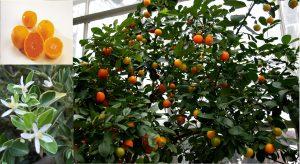 Calamondin Citrus madurensis
