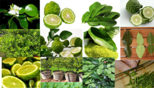 Kaffir Lime Mix Citrus hystrix,