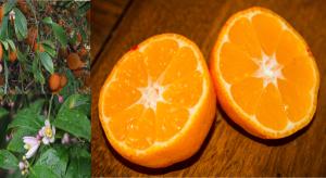 Rangpur Citrus × limonia
